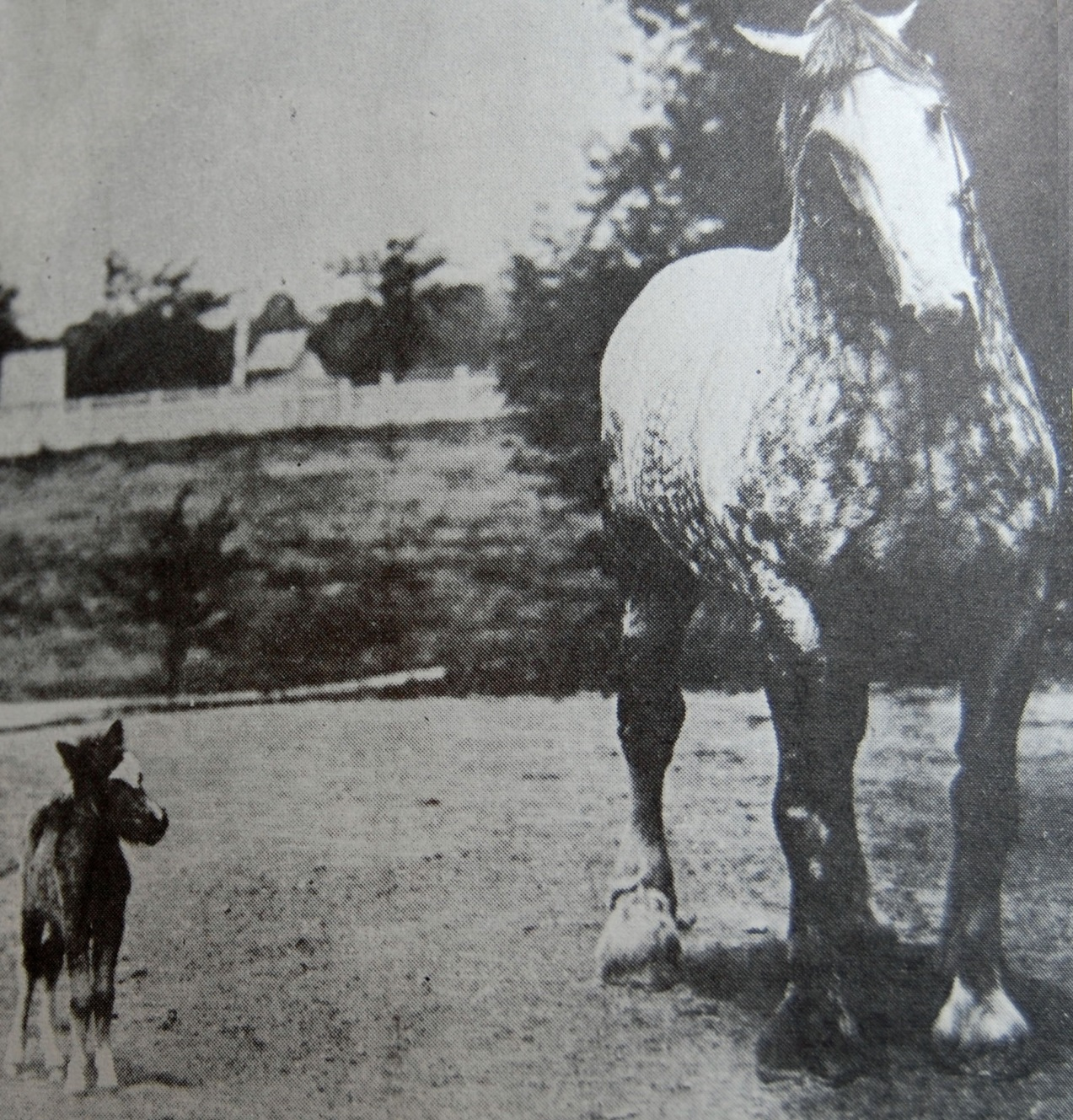 Giant draft horse and tiny baby Shetland pony horse