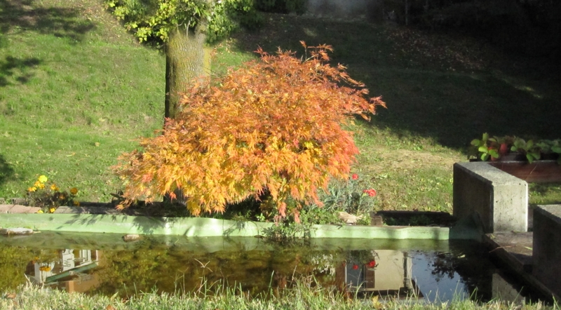 The Japanese Maple is turning yellow - Photo by LadyDuck