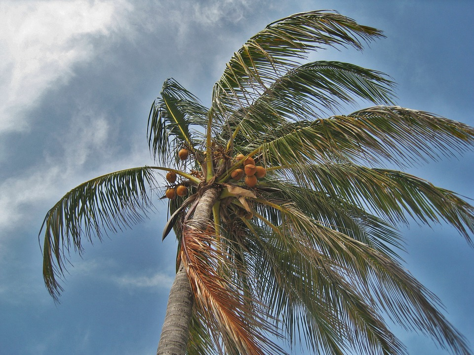 https://pixabay.com/en/palm-tree-in-the-storm-florida-1088921/
