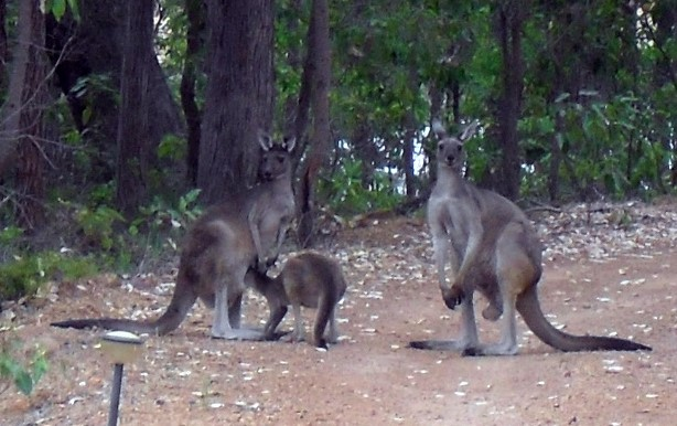 Kangaroos - family group