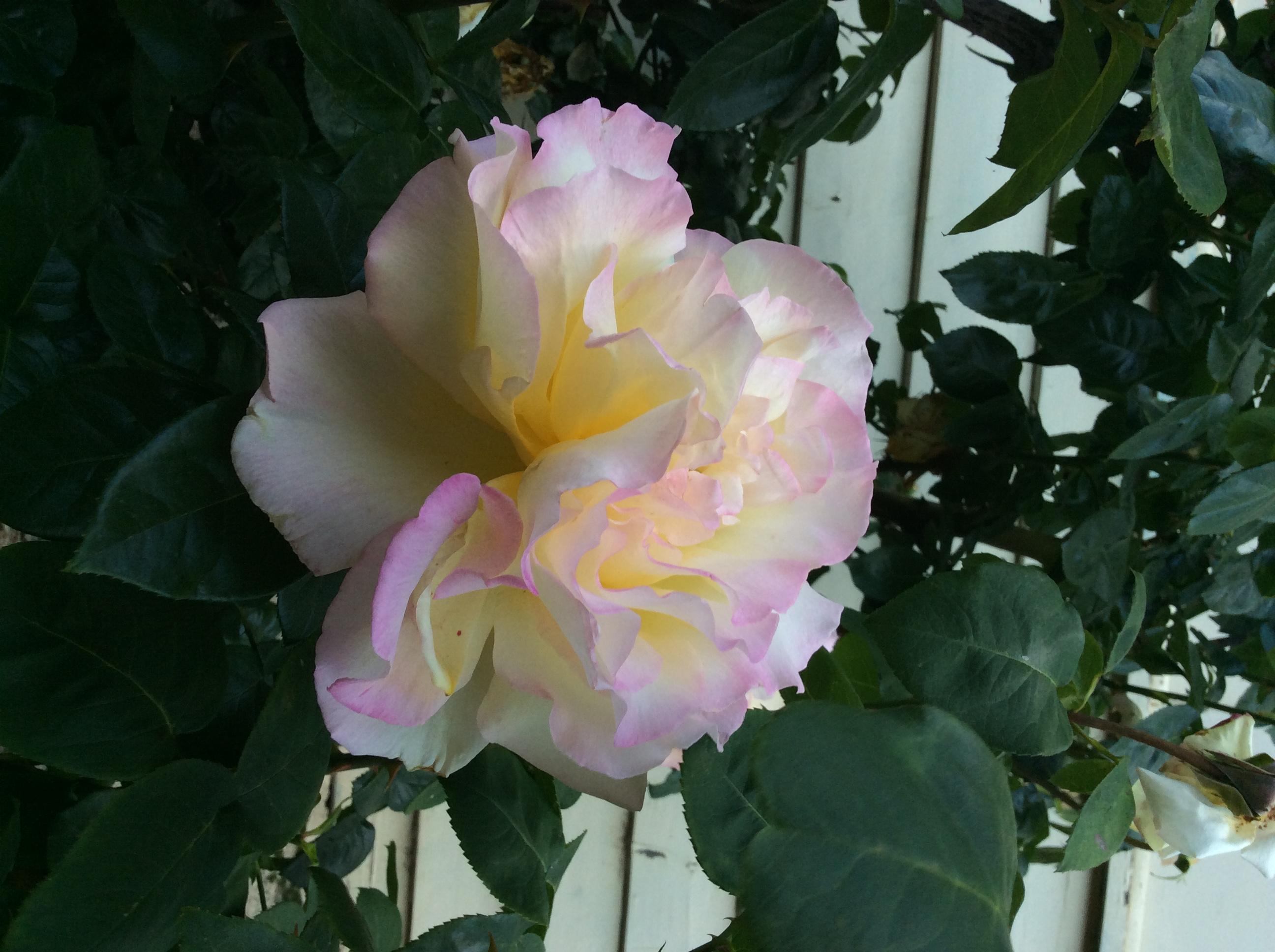 My photo a rose
