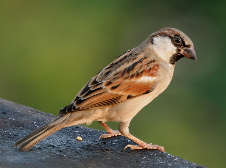 https://commons.wikimedia.org/wiki/File:House_Sparrow_(M)_I_IMG_7881.jpg