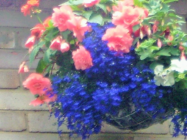 One of my hanging baskets last summer.