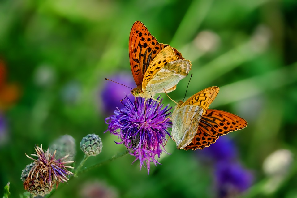 https://pixabay.com/en/nature-butterfly-fritillary-insect-3205038/