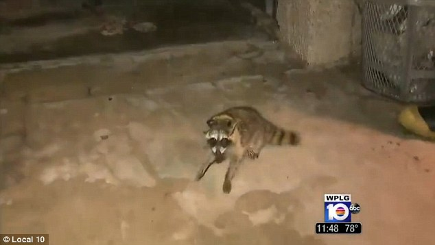Raccoon fteed after he had his head stuck inside a jar of peanut butter