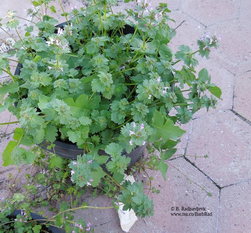 A Pot of Henbit, an Edible Weed