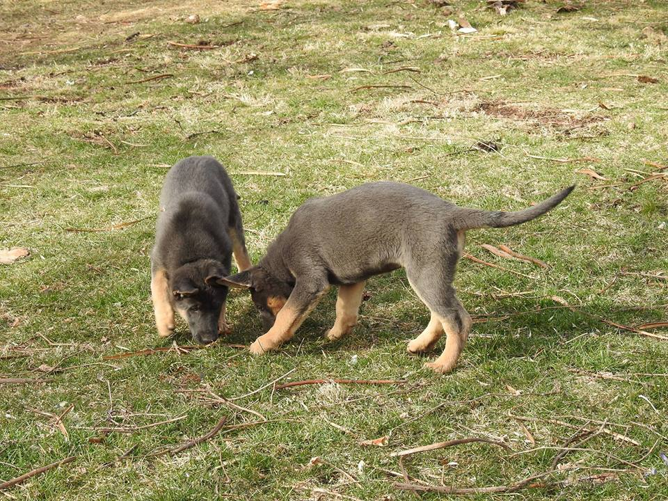 Blue German Shepherd Puppies
