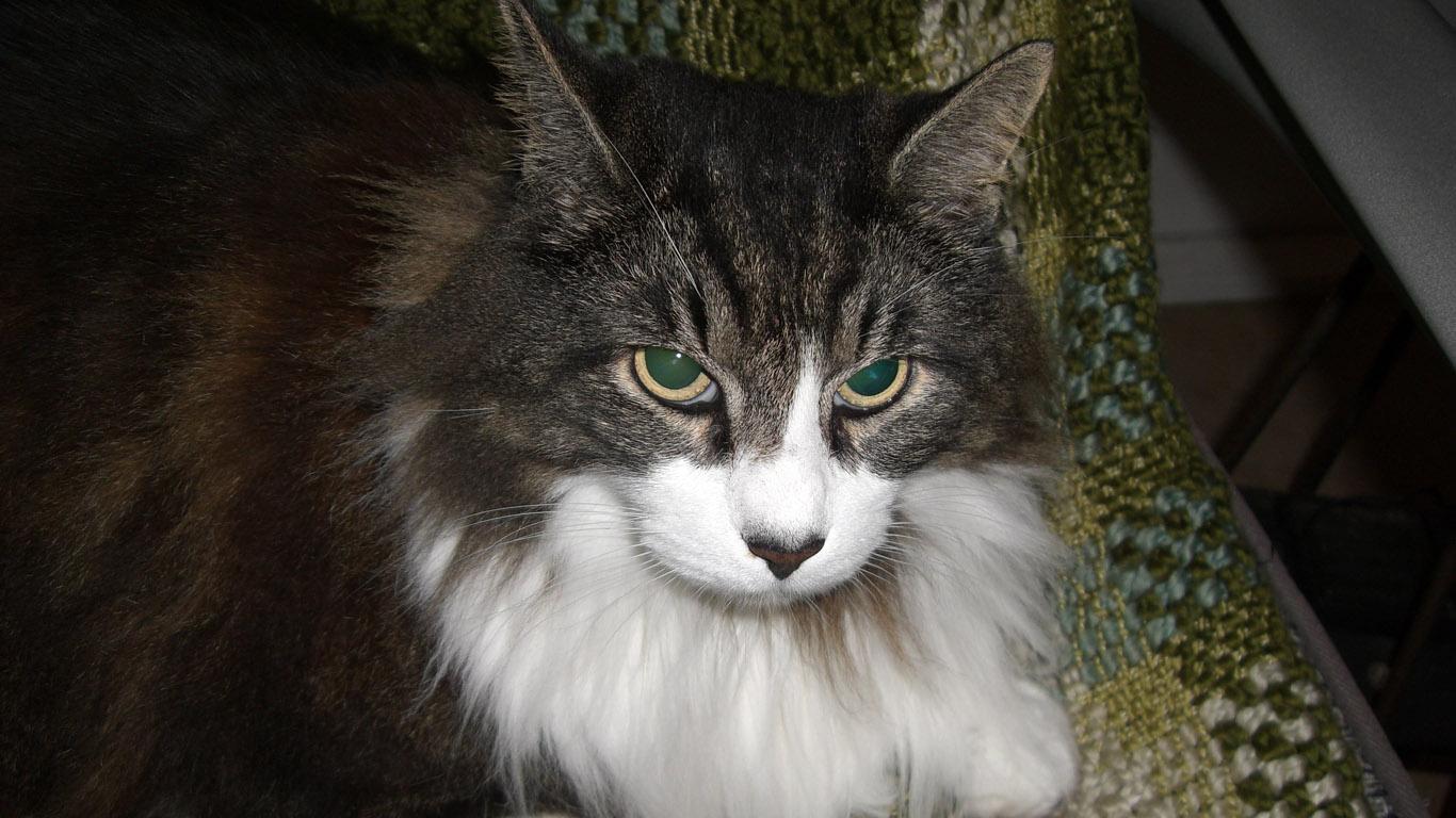 A Norwegian Cat