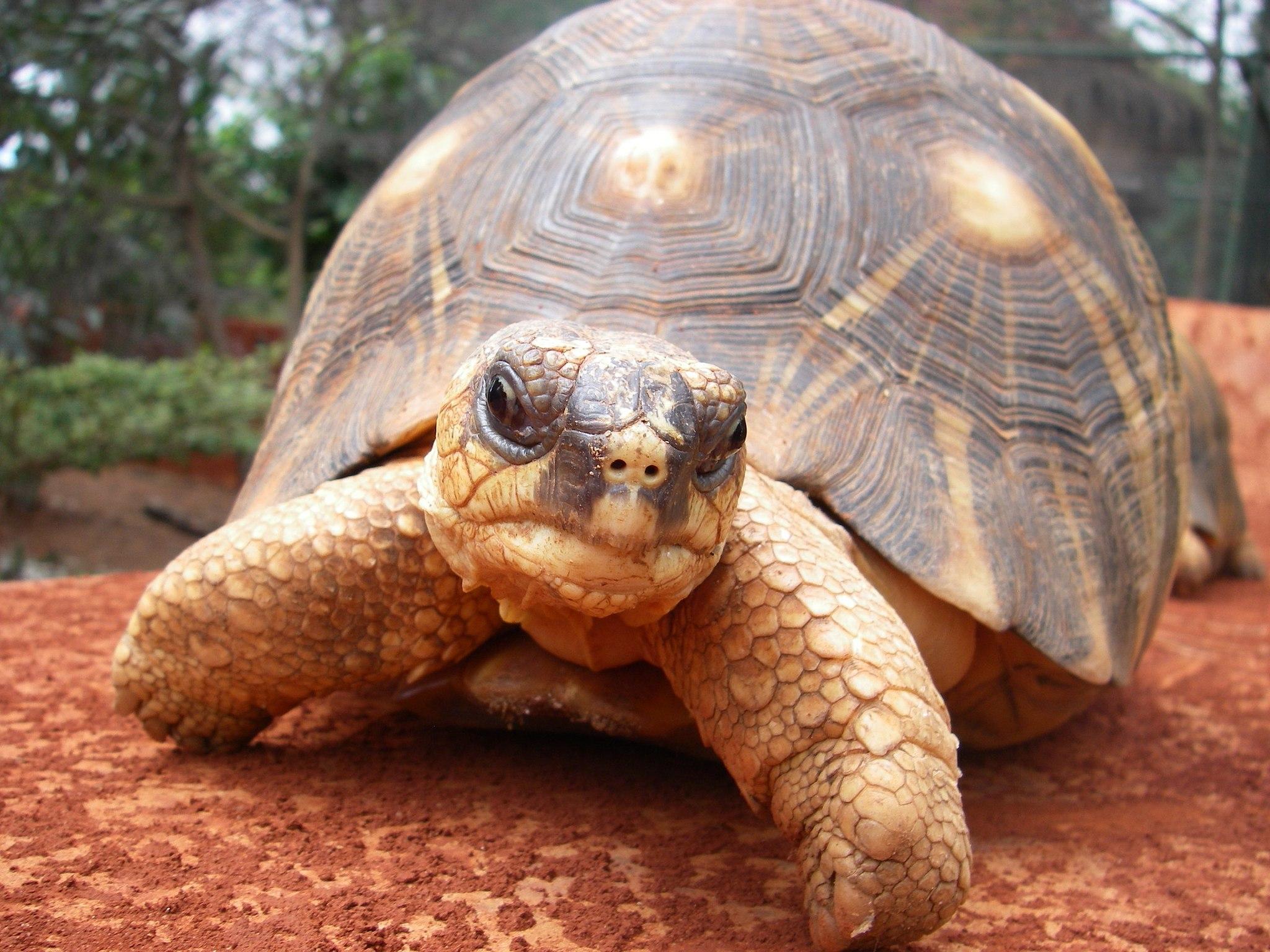 Madagascan tortoise