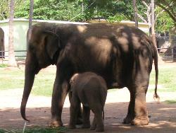 Elephants and baby elephant at Mysore Zoo - Photographed at Mysore