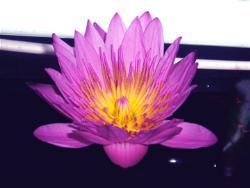 Lotus - Blooming in my tank.