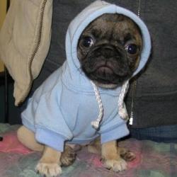A cute pug puppy :)