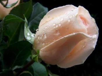 Pink colour rose - I like pink colour of rose. This rose is for you dear.