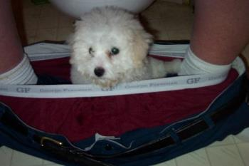 Our little pup! - Roxy being playful in mans pants while going to the bathroom.