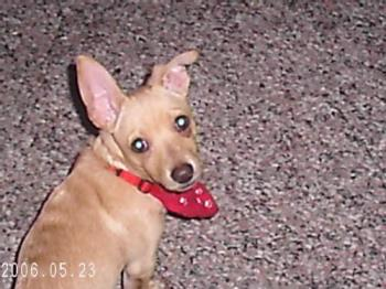 my chihuahua/rat terrier dog - this is my dog jasper.