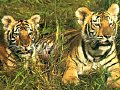 tigers - Look how the tigers were sitting for their prey.