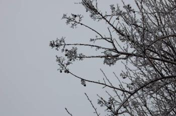 click to enlarge - Another beautiful photo of the ice covered buds. The sky is the backdrop for the photo.