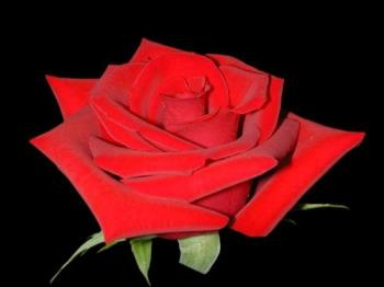 In this imagine is a very nice flower,an red rose - In this imagine is a very nice flower,is an red rose.I love red roses,these are my favourite flowers.For me an red rose means the power of love,the power and all nice feelings that a lover can feel.