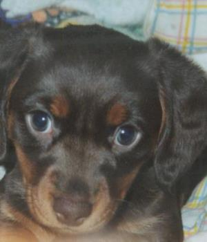 Mini Dachshund - Miniature dachshund puppy