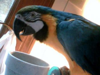 Lucy B&G Macaw - This is Lucy at 11yrs old.