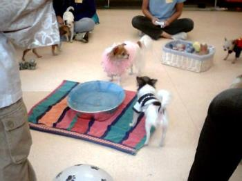 Gizmo and Friends at MeetUp - This is Gizmo, my blue and white chihuahua playing with his friends at The New England Chihuahua MeetUp.  They are enjoying a halloween party and bobbing for treats.