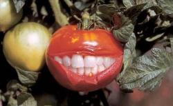 Happy tomato - smiling tomato