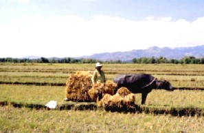 Bringing in the Sheaves - Carabao pulling sled with the harvest to bring them to the threshing place