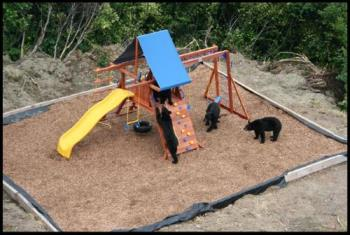 Bears playing - This is just wayy to cute!! I wish i would have been here!