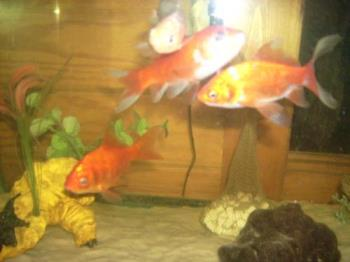 4 of my Goldies/Goldfish - 4 of my 5 comet/feeder goldfish.