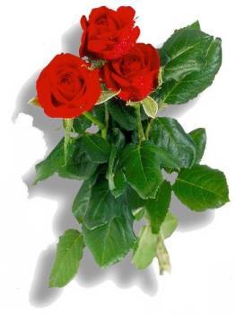 Rose - ..