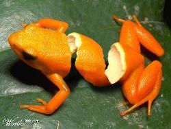 Orange Frog - Is this a orange frog - pealing?