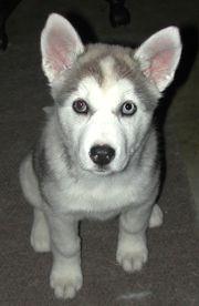 wolfdog - Here is the wolfdog