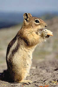 chipmunk - I found this critter running around the net so I brought him to play.