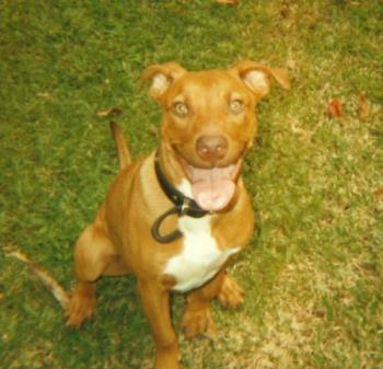 """This is my  Pit Bull """" Zane """" at 6 months old - This is my baby """" Zane """" at 6 months old... :) .. have a great day .."""