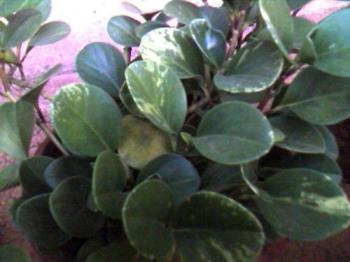 plant leaf - leaves of a garden plant.