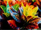 croton leaves - Croton Leaves gave a good beauty in nature itself