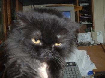 this is my persian cat that looks funny wet - this is my persian cat looks funny wet