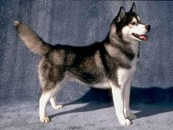 Siberian Husky - Siberian husky, dog