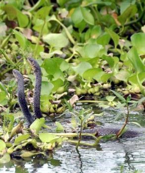 Cobra mating in assam's jungle - Cobra mating in assam's jungle,india