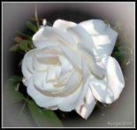 white ross - white rose means innocence, purity, secrecy, friendship, reverence and humility.