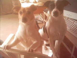 Millie Marie and Blacktail - rat terriers, dogs,