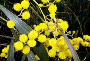 Golden Wattle - Golden Wattle, Acacia pycnantha, is Australias national flower.  It was proclaimed as the national floral emblem until 1988, the year of Australia's bicentenary.   The Acacia pycnantha, the golden wattle, is a shrub or small tree about 4 to 8 metres tall.