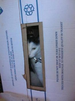 mad cat - my cat hiding in a packing box when we were moving house.