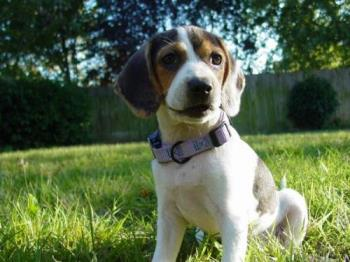 click to enlarge - This is our beagle/jack russel mix. She is the sweetest dog your could find!!!
