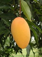 mango - mango-the fruit