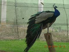 Peacock - Photographed at Mysore zoo