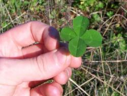 clover - 4 leaf clover
