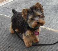 My Dog:) - This is my yorkie....my lovely dog.