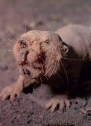mole rat - ugly