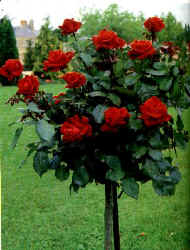 rose plant - A rose plant in the garden